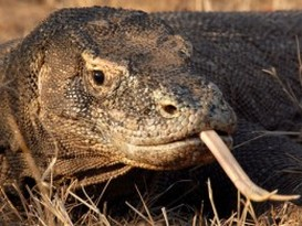 Komodo dragon head