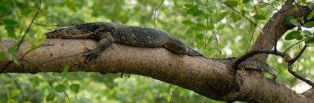 Asian water monitor lizard on tree