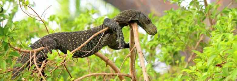 Crocodile monitor on tree