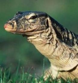Asian water monitor head