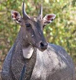 Nilgai - Wildlife Facts