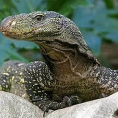 Crocodile monitor head